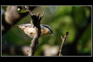 The nuthatch strikes again by Rajmund67
