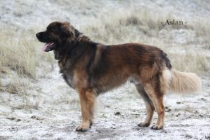 Leonberger Aslan by SpiritOfNature