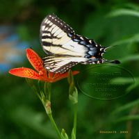 Eastern Tiger Swallowtail by Foozma73