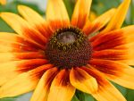 Black Eyed Susan by FeverentReverie