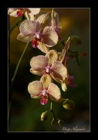 Striped orchid II by xanderking