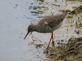 Redshank under the rain by Momotte2