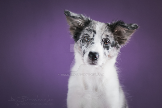 Portrait of a puppy Speedy by Huskana