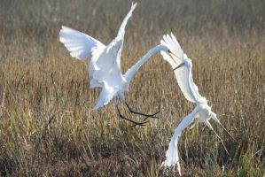 Mortal Combat: Great Egrets 1 by Shadow848327