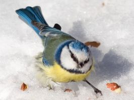 Blue tit in snow by TomiTapio