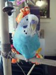 Budgie being cute by angel6902