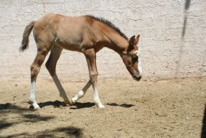 Foal 15 by Mustang4-Stock