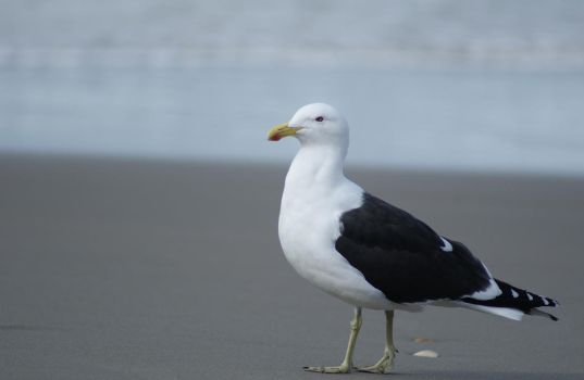 Black Back Gull by Cazz54