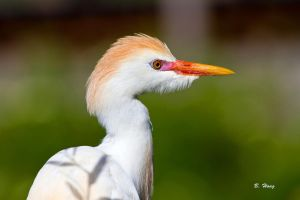 Cattle Egret Breeding Plumage by Grouper