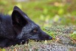 Young Black Fox in the Wild by Witch-Dr-Tim
