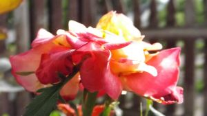 Roses 080 by DarlingChristie