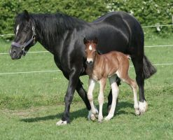 Mare and Foal 1 by equinestudios