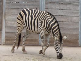 Zebra 1 by Chocomix-Stock
