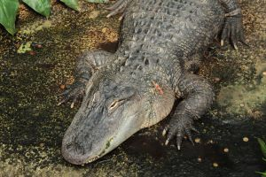 American Alligator by wuestenbrand
