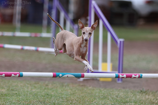 Italian Greyhound Leap by Deliquesce-Flux