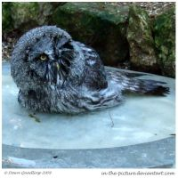 Owl Bath Time II by In-the-picture