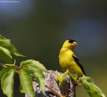 goldfinch by purple007