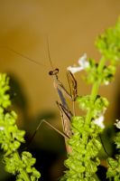 Mantis on the Basil by ernungo
