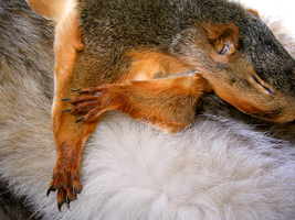 Fox Squirrel Pelt - Corey by FossilFeather