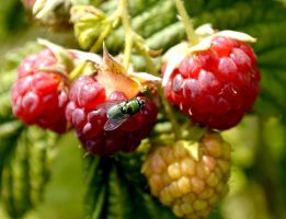 Fruit and Fly by Clangston