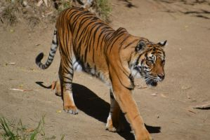 Tiger on the Move by isatatoku