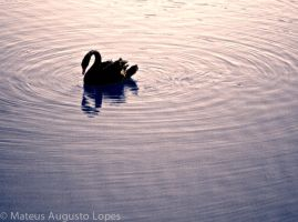 Black Swam swimming on a pink lake by creatto938