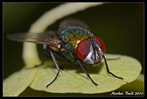 Cyclorrhapha by HobbyFotograf