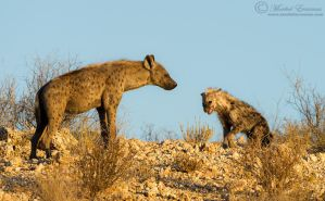 Hyena Family by MorkelErasmus