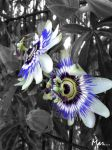 Passion Flower by Marimarrr
