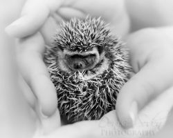 Baby Hedgie by DeniseSoden