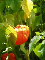 .stock: chinese lantern by guavon-stock