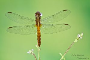 Dragonfly by ColinHuttonPhoto