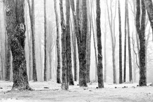 Foggy Forest by pillendrehr