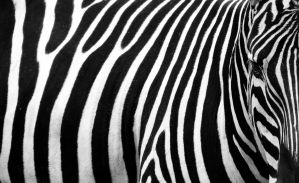 Zebra by Lukaydo