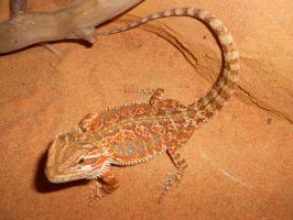 My bearded dragon by JaneBroucil