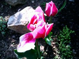 Beautiful tulip - Spring 2011 by Ingnition