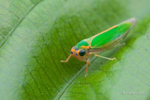 Party Colored Leafhopper by melvynyeo