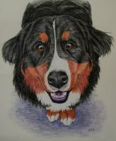 Bernese Mountain Dog by blue2K