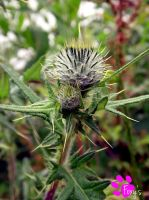 Spear Thistle (12.07.13) by LacedShadowDiamond