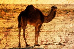 dromedary by criscoeur