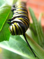 Monarch caterpillar v1 by hazeldazel