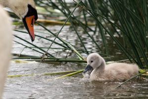 Swan baby supervised by TomiTapio