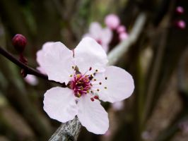 Little Cherry Blossom by jezebel144