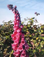 Foxglove In The Evening Sun by eastcorkpainter