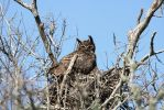 Great Horned Owl Nesting by Shadow848327