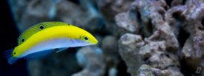 Silver Belly Wrasse by gmwebs