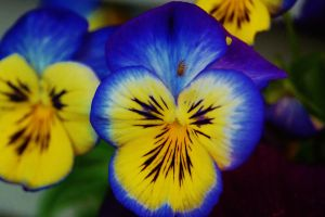 Pansy 1 by nazzara