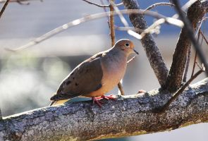 Just A Dove by Tailgun2009