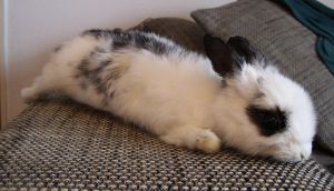 Black and white bunny soft mount by DeerfishTaxidermy