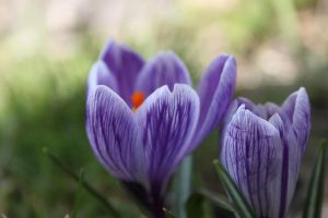 Crocus by lemonsAndsparrows